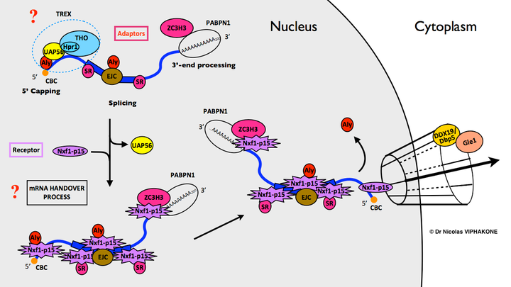 rna involved in protein synthesis